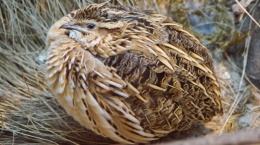 Prepelica (Coturnix coturnix) od 01.08. do 31.12.