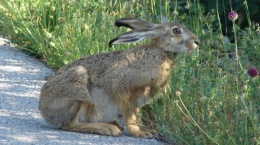 Zec (Lepus europaeus) od 01.10. do 05.12.